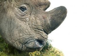 Il rinoceronte bianco settentrionale (<em>Ceratotherium simum cottoni</em>) è quasi estinto