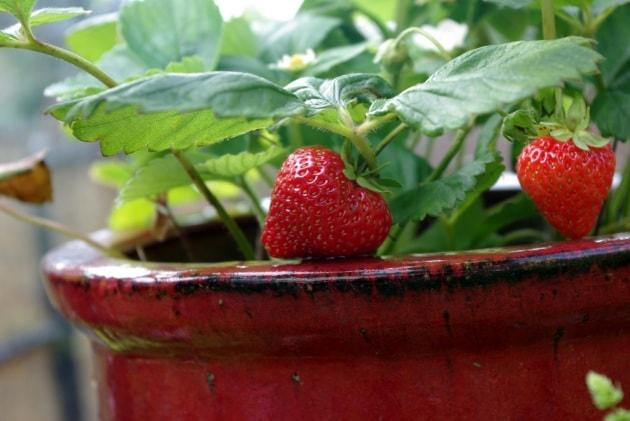 Frutta e verdura bio dal balcone di casa