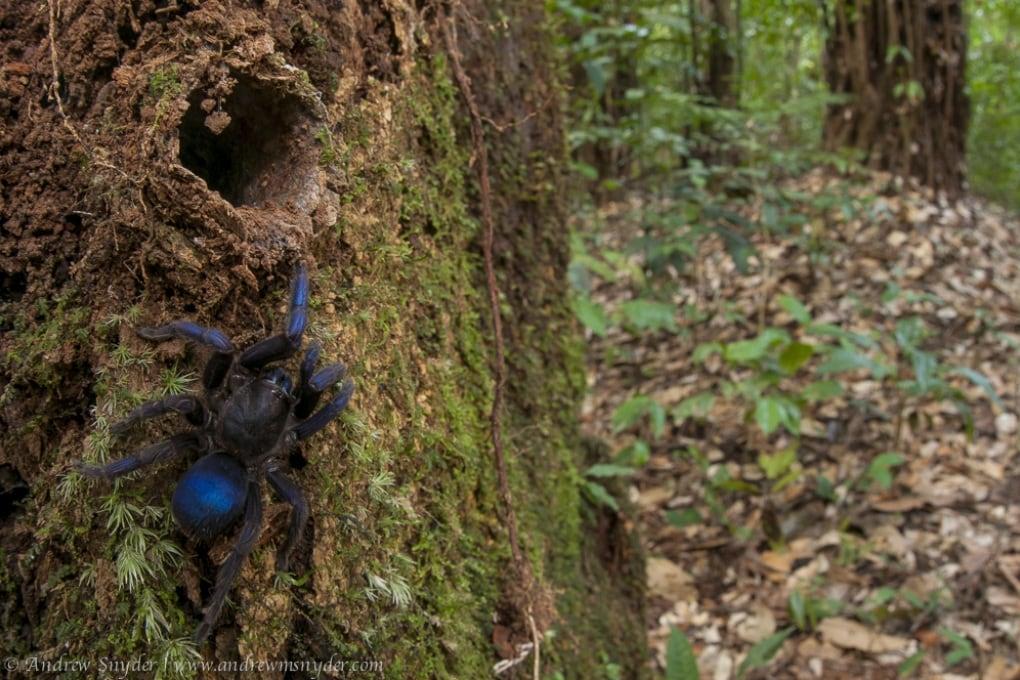 La tarantola blu elettrico delle foreste della Guyana