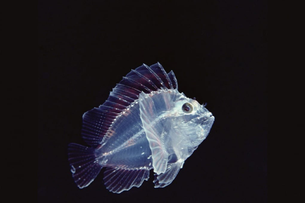 Perché i pesci abissali sono trasparenti?