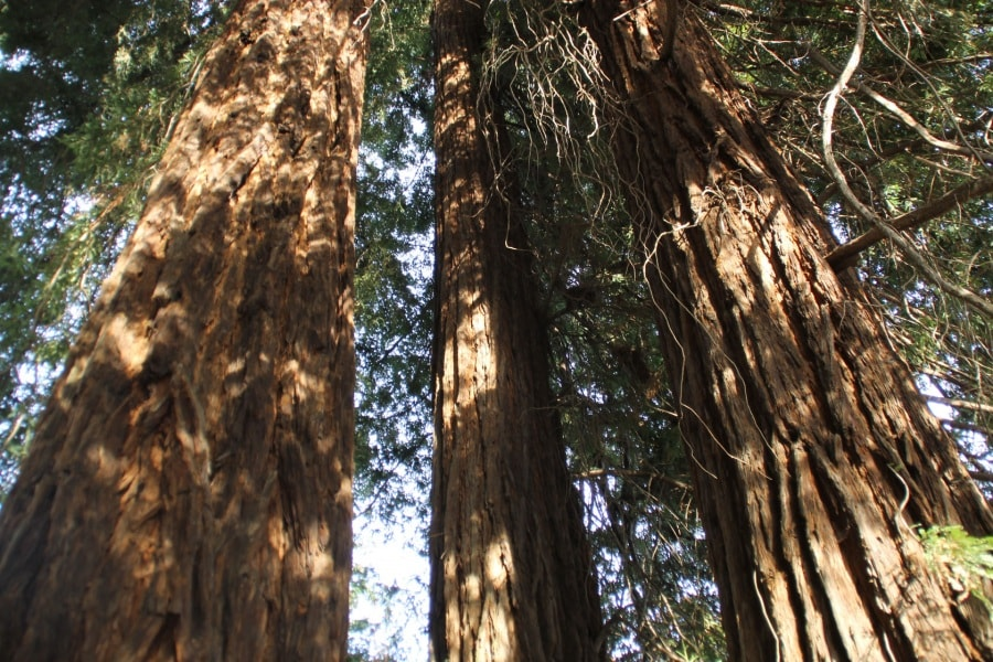 sequoie_maria-bosello