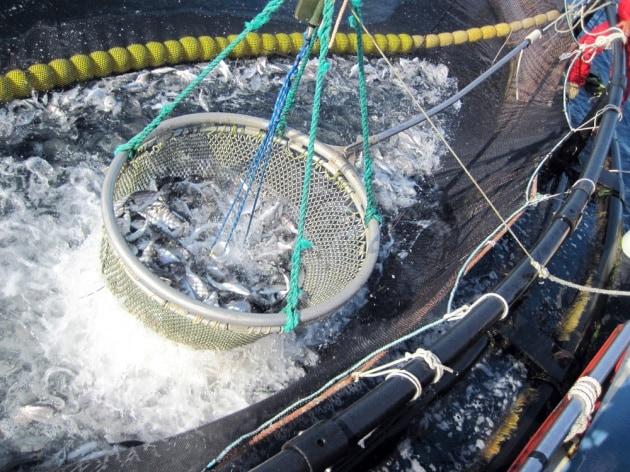 Dopo la carne in vitro ecco il pesce in provetta