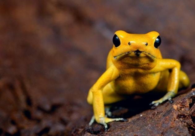 Come fanno le rane freccia a non avvelenarsi da sole?