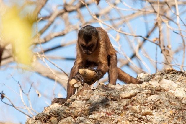 Anche le scimmie producono utensili