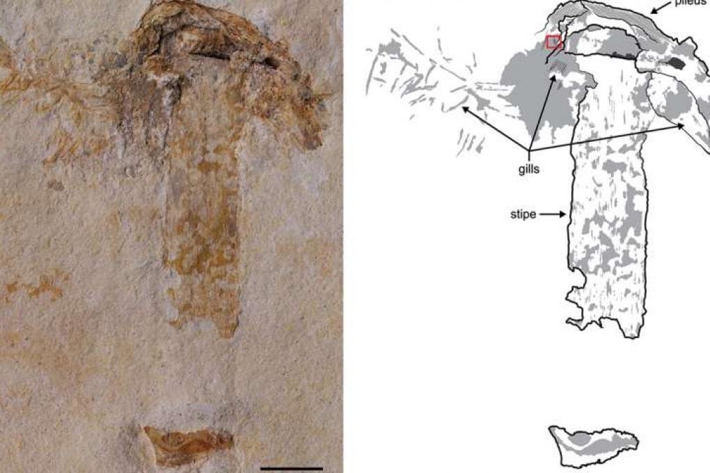 Il fungo fossile più antico del mondo