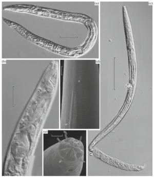 Immagini dei vermi estratti dal Permafrost Siberiano