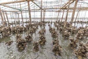 Ostriche di un allevamento tailandese. Fra le migliori della lista.