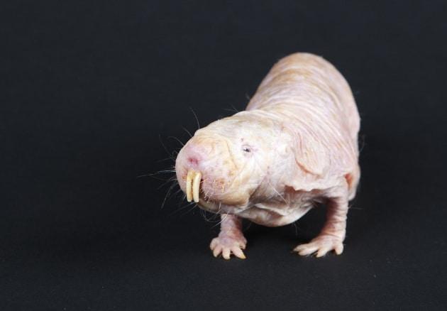 Senza ossigeno per 18 minuti: il record dei ratti nudi