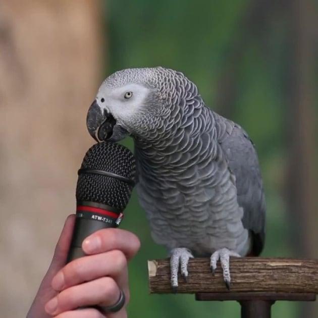 Il pappagallo cenererino, un genio con le piume