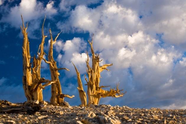 Alberi Matusalemme minacciati dal global warming