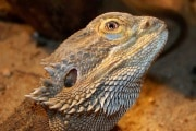 drago-barbuto-pogona