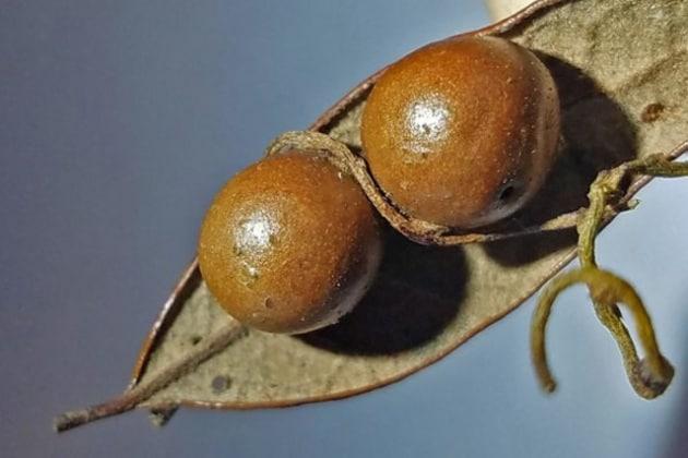 galla-e-liana-parassita