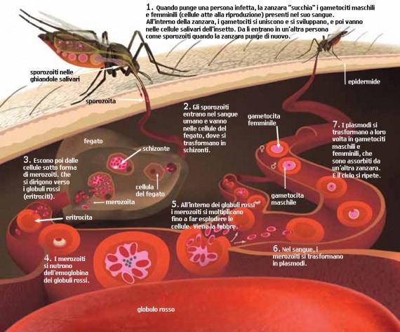 zanzare, zanzara anofele, plasmodio, Plasmodium falciparum, malaria, Anopheles gambiae, epidemie