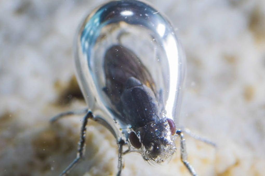 La mosca palombaro del lago californiano