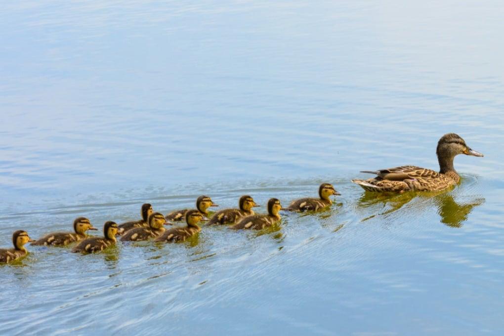 """È vero che il """"quack"""" delle anatre non fa eco?"""