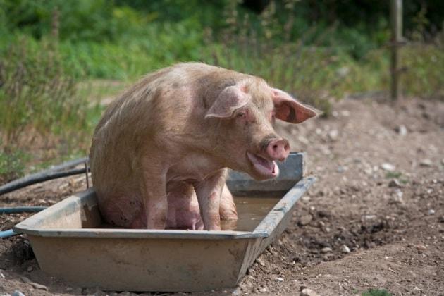 Anche i maiali sono ottimisti o pessimisti