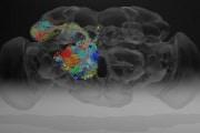 drosofila-connessioni-neuroni