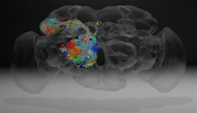 Ricostruite nel dettaglio le connessioni neurali del cervello di una drosofila