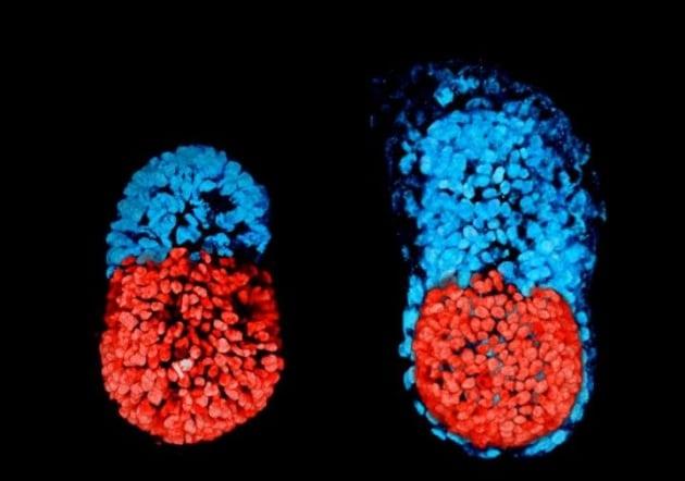 Un embrione di topo autonomo e artificiale