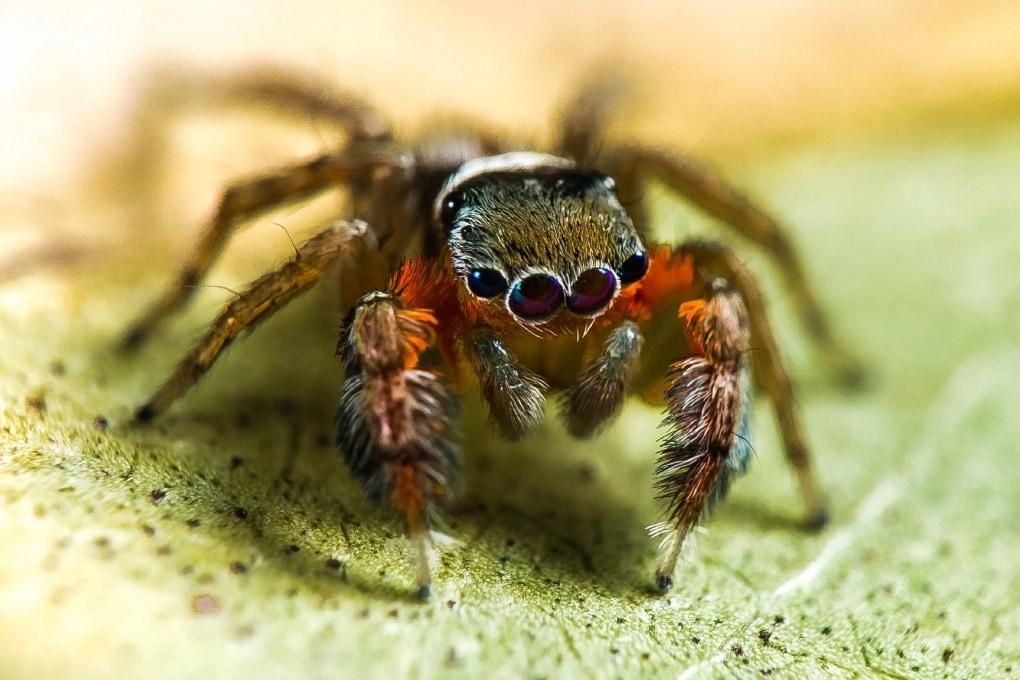 Australia, scoperte oltre 50 nuove specie di ragni