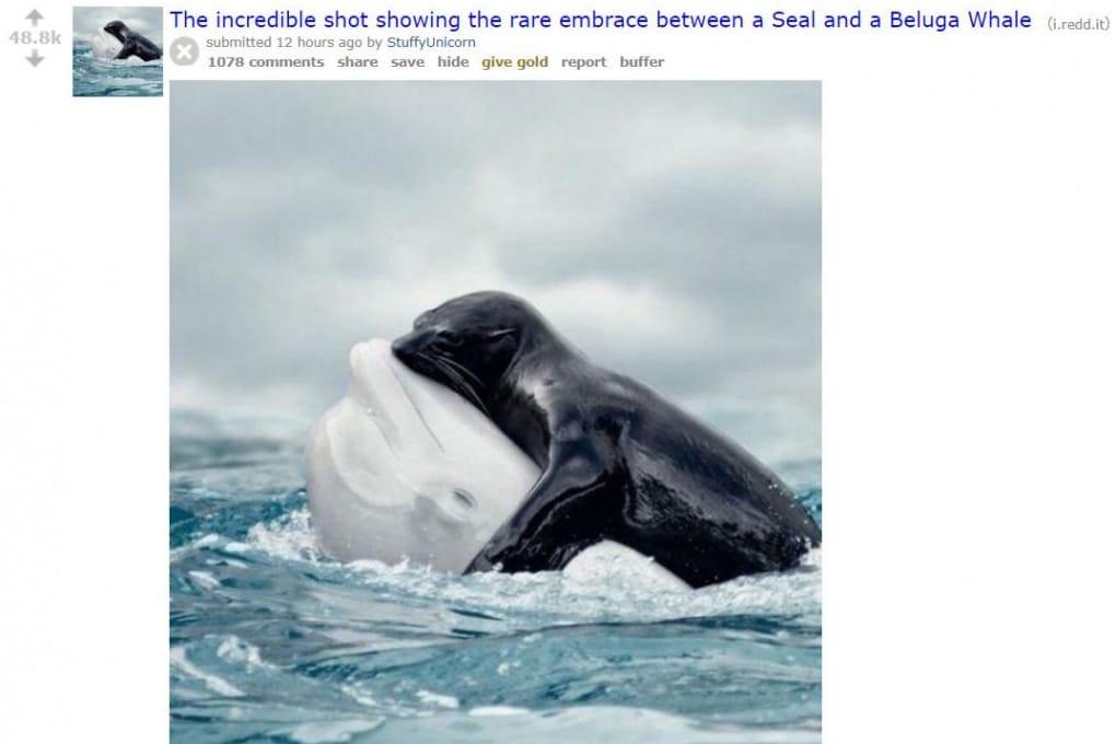 L'abbraccio impossibile tra un beluga e un'otaria