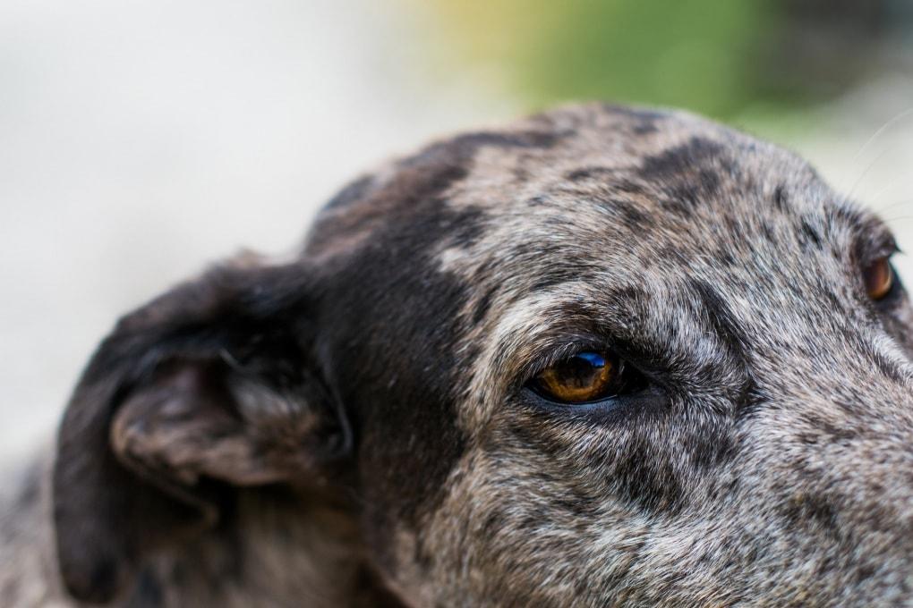 Anche i cani imbiancano per la preoccupazione