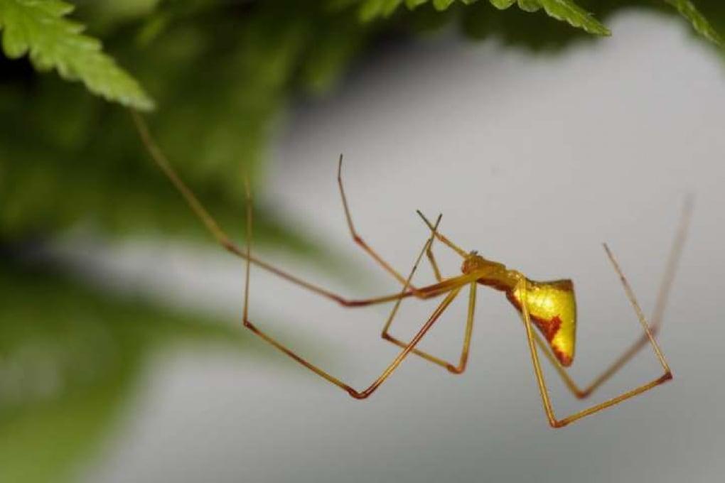 L'evoluzione può essere altamente prevedibile: la strana storia dei ragni hawaiani