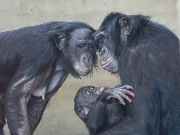 Anche i bonobo hanno le levatrici