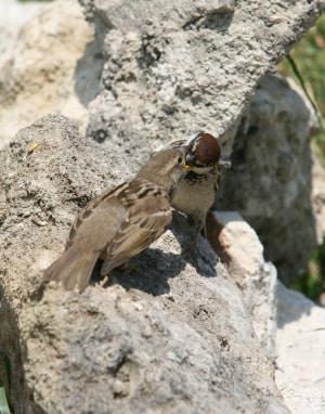 ornitologia, uccelli, Passero Italiano