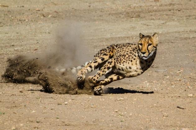 Il segreto dei ghepardi è nel loro orecchio interno