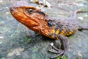 shinisaurus_crocodilurus_vietnamensis