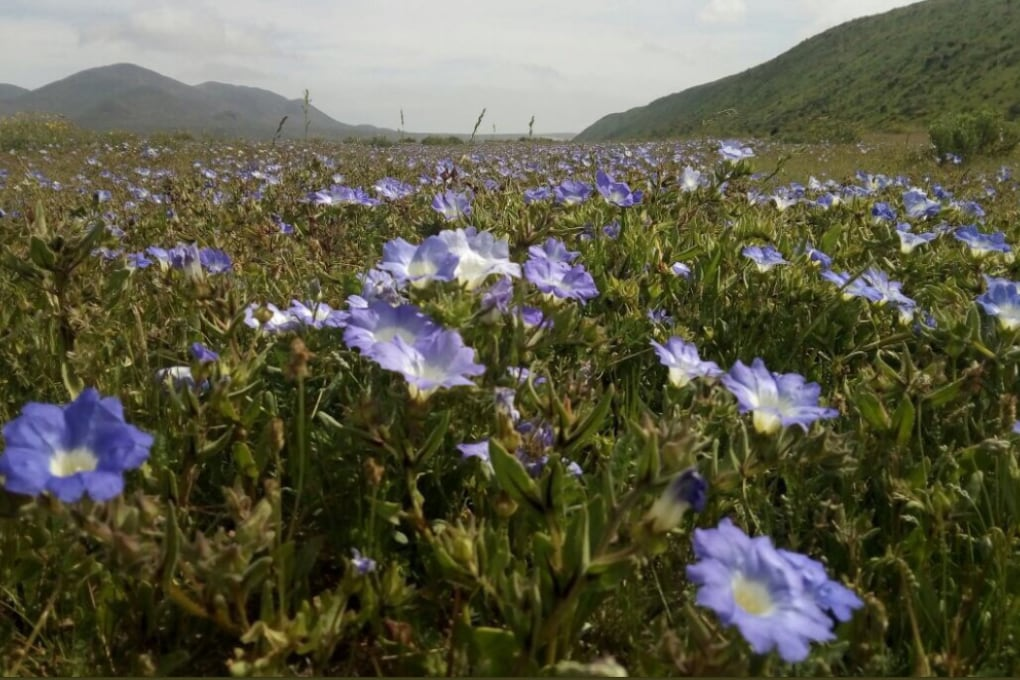 La straordinaria fioritura del deserto più arido al mondo