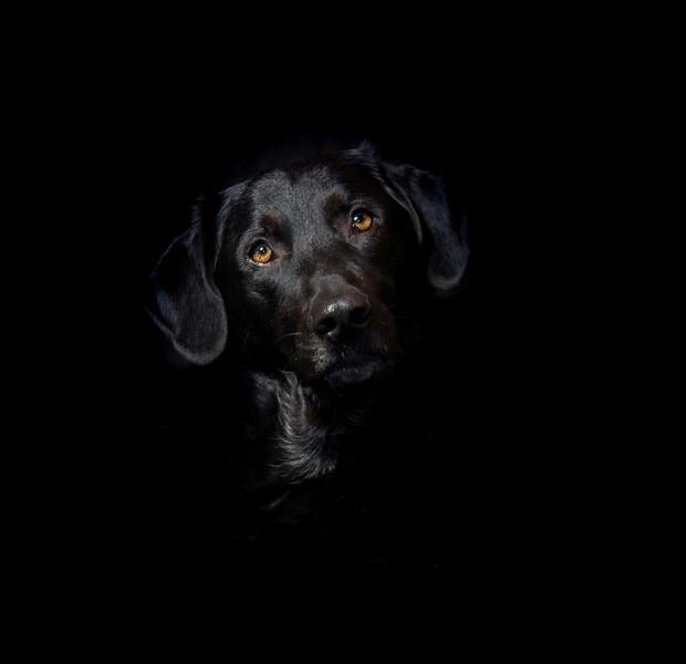 animal-pet-mix-labrador-black-dog-hybrid-head-2184709