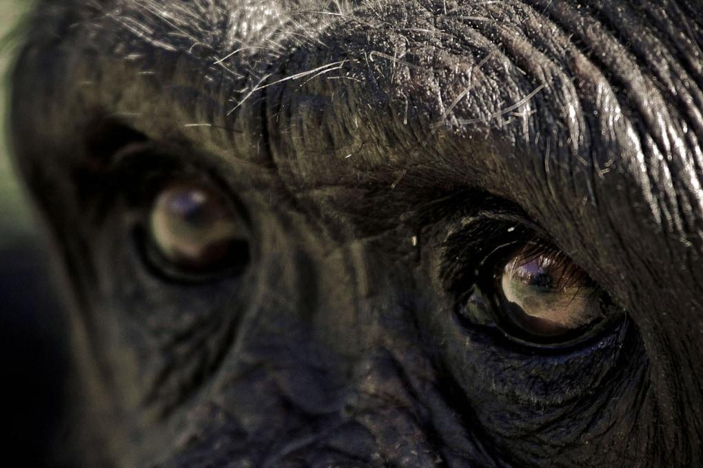 Cosa ci passa per la testa? Una scimmia lo capisce