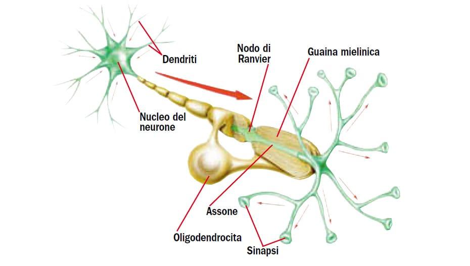 Come Funziona Il Cervello Focusit