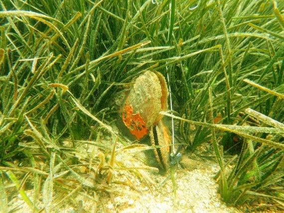 Haplosporidium pinnae, protozoi parassiti, nacchera, molluschi, Pinna nobilis, posidonia