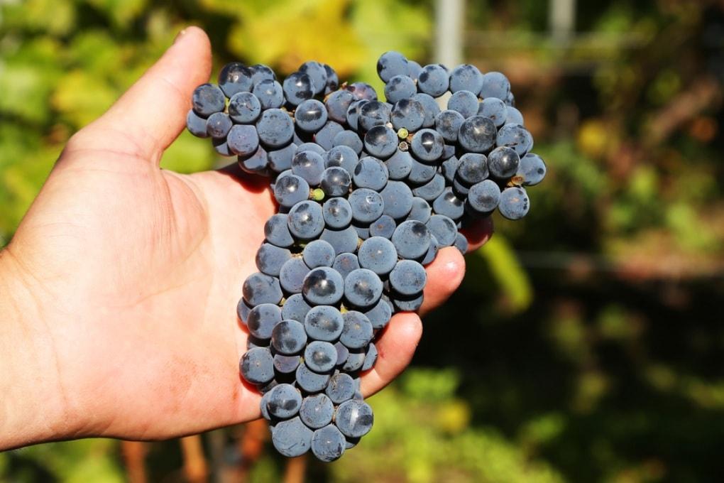 Vino, gli italiani lo fanno da 6000 anni