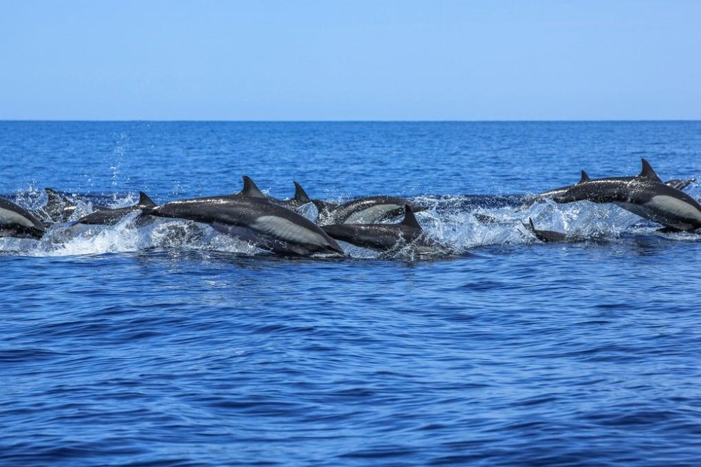 Le orge di un pesce sono così rumorose da rendere sordi i delfini