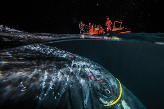 balenacavo