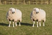 clonazione-pecore
