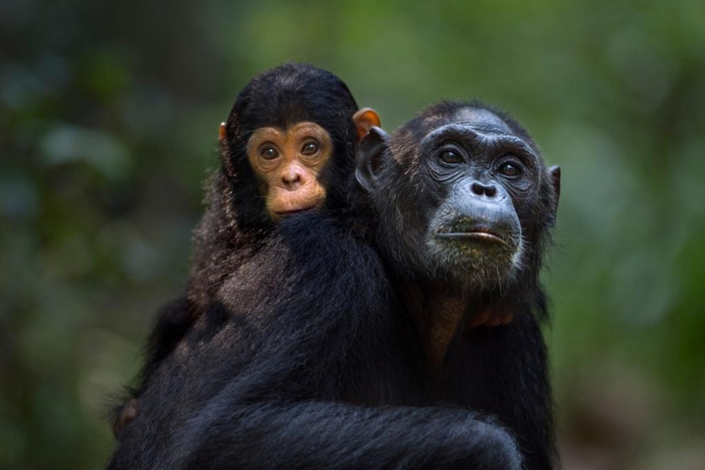 Le babysitter? Essenziali anche per gli scimpanzé