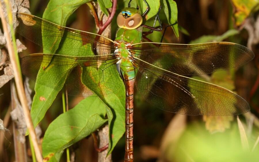 libellule-anax-junius