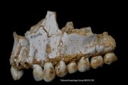 denti-neanderthal