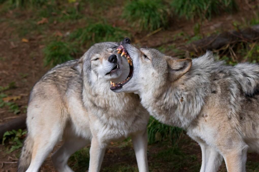 Riconciliarsi dopo una lite: i lupi ci riescono meglio dei cani