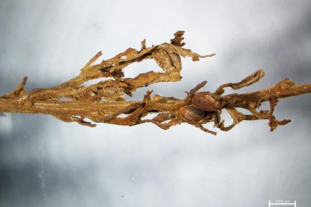 Cannabis come sudario in un'antica tomba cinese