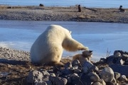polar-bear-petting-dog