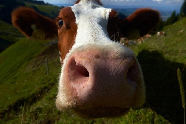I bovini Ogm resistenti alla tubercolosi