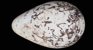 uccelli, uova, forma delle uova, uccelli migratori, uccelli stanziali, nidificazione, pulcini
