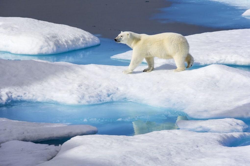 Anche gli orsi bianchi, come tante altre specie, soffrono a causa del riscaldamento globale.