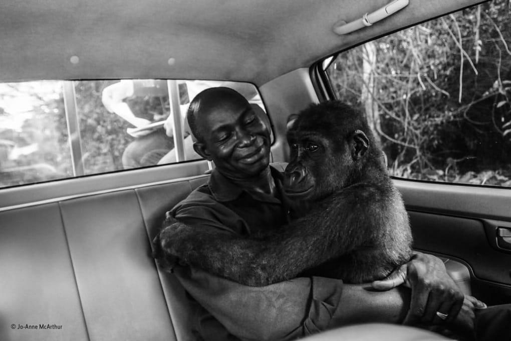Il gorilla e il suo soccorritore: la foto più amata nel Wildlife photographer of the year